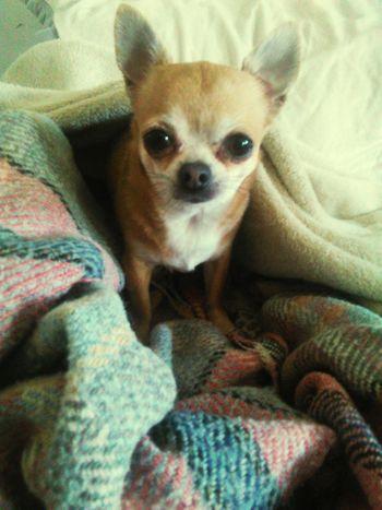 Cute Pets Cute Dog Chihuahua Tiamo❤