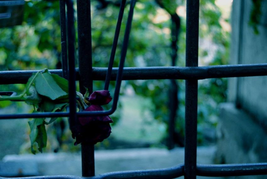 Caged Freedom Caged In Focus On Foreground Life Outdoors Rose - Flower Rose🌹 Shooting