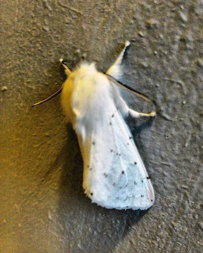 Moth Chillin Vanillabean White Trippy Forestbugs Flying Bug Weird DOPE