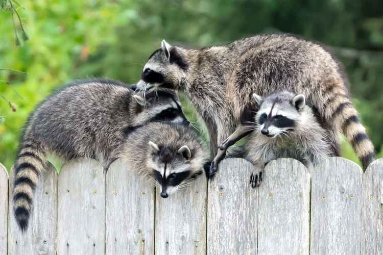Mom racoons and