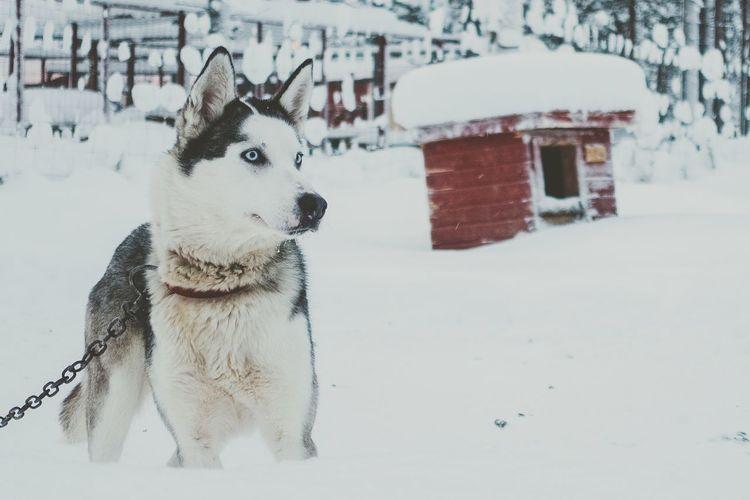 Husky On A Snowy Field