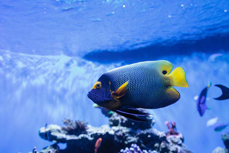 Blueface angelfish swimming in aquarium