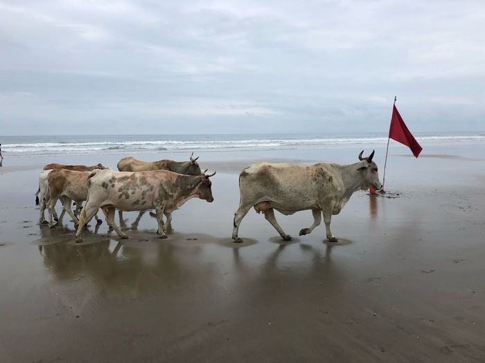 Surfer Cows