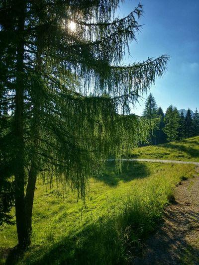 Asiago Highland, Vicenza, Italy Nature On Your Doorstep Travel Traveling Italy Mountain Larix Backlight Photography Art Fineart