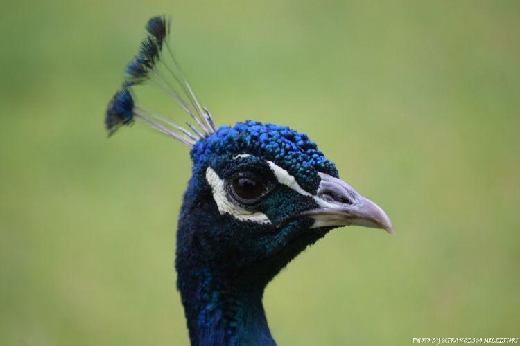 Pavone Bird Animal Wildlife Nature Animal Crest