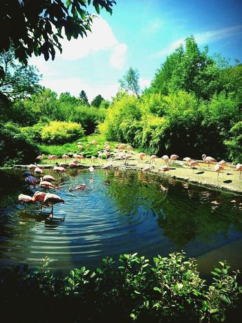 Zurich Zoo Beauty In Nature Water Bird Flamingos Green Nature Pink Birds Blue Sky Miracle Of Nature First Eyeem Photo