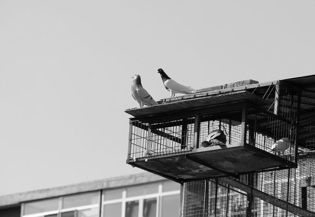 Bird Built Structure Caged Caged Freedom Freedom Old-fashioned Perching Pets Pigeon Showcase April Telling Stories Differently Telling Stories Differtenly