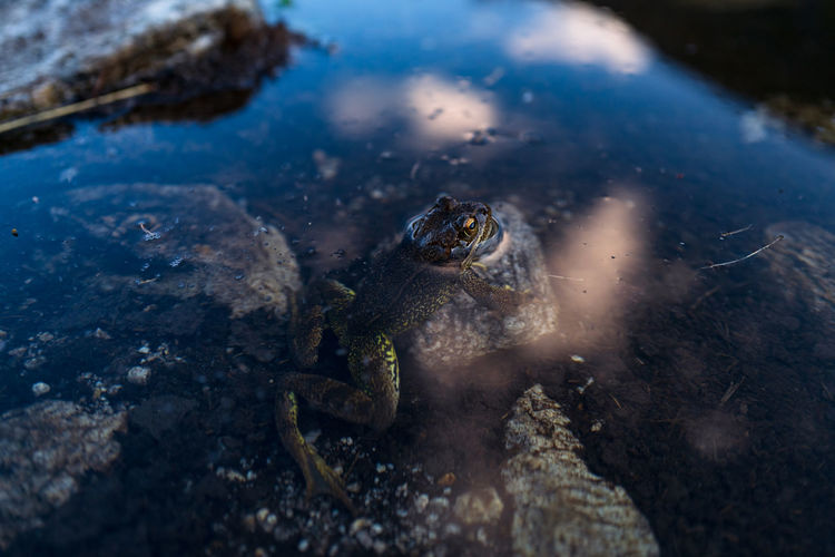 Frog and clouds in water reflection