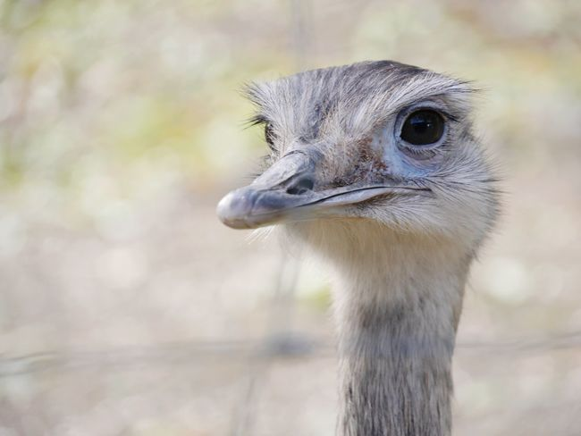 Animal Animal Head  Nandu Bird Ostrich Portrait Beak Looking At Camera Eye Headshot Close-up