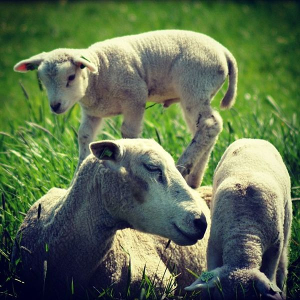 Naarden Schaap Sheep Animal animals wildlife nature tagsta tagsta_nature instalife dayshots wild tagstagramers natgeohub udog_animal instanature awesome_shots nature_shooters vida fauna animalsofinstagram animali naturaleza natura tagstagramers instanaturelover natureporn natur bestoftheday