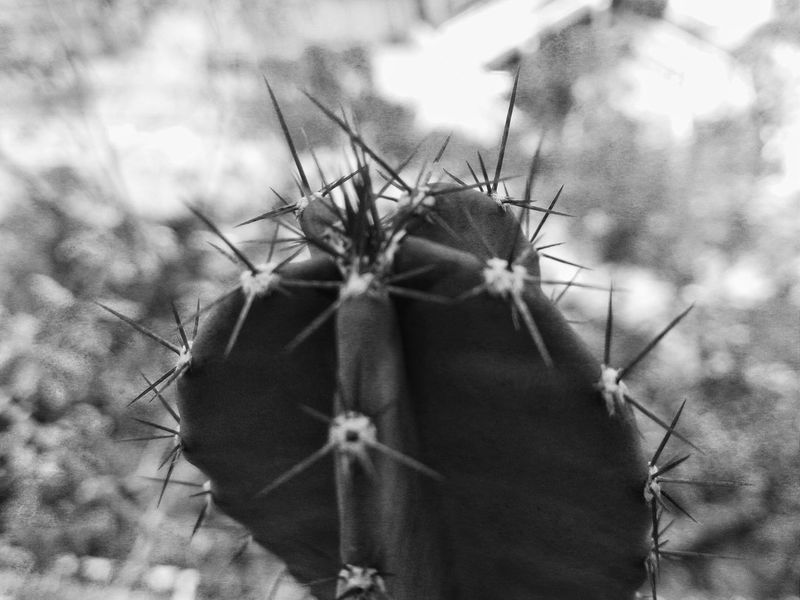 Protection Thorn Plant Close-up Day Outdoors Nature Pattern Textured  Shape And Pattern Textured  BW_photography Catus Mono Chrome