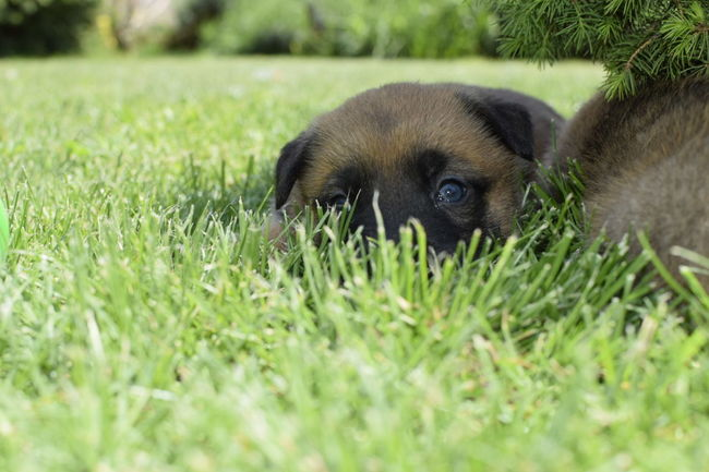 Behindblueeyes Puppy BelgianShepherd