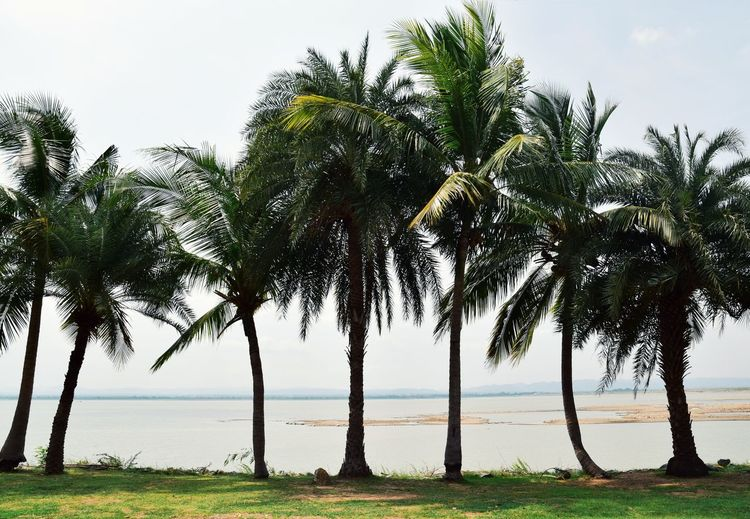 coconut tree Background Beautiful Natural Leaf Outdoors View Landscape Tree Water Sea Palm Tree Tree Area Beach Exoticism Horizon Social Issues Summer Coconut Palm Tree Palm Leaf Coconut Coastline Tropical Tree Calm