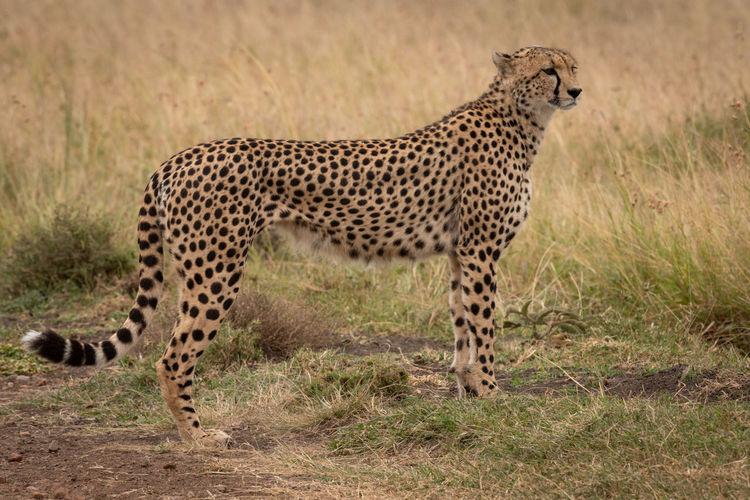 Side view of cheetah on grassy field during sunny day