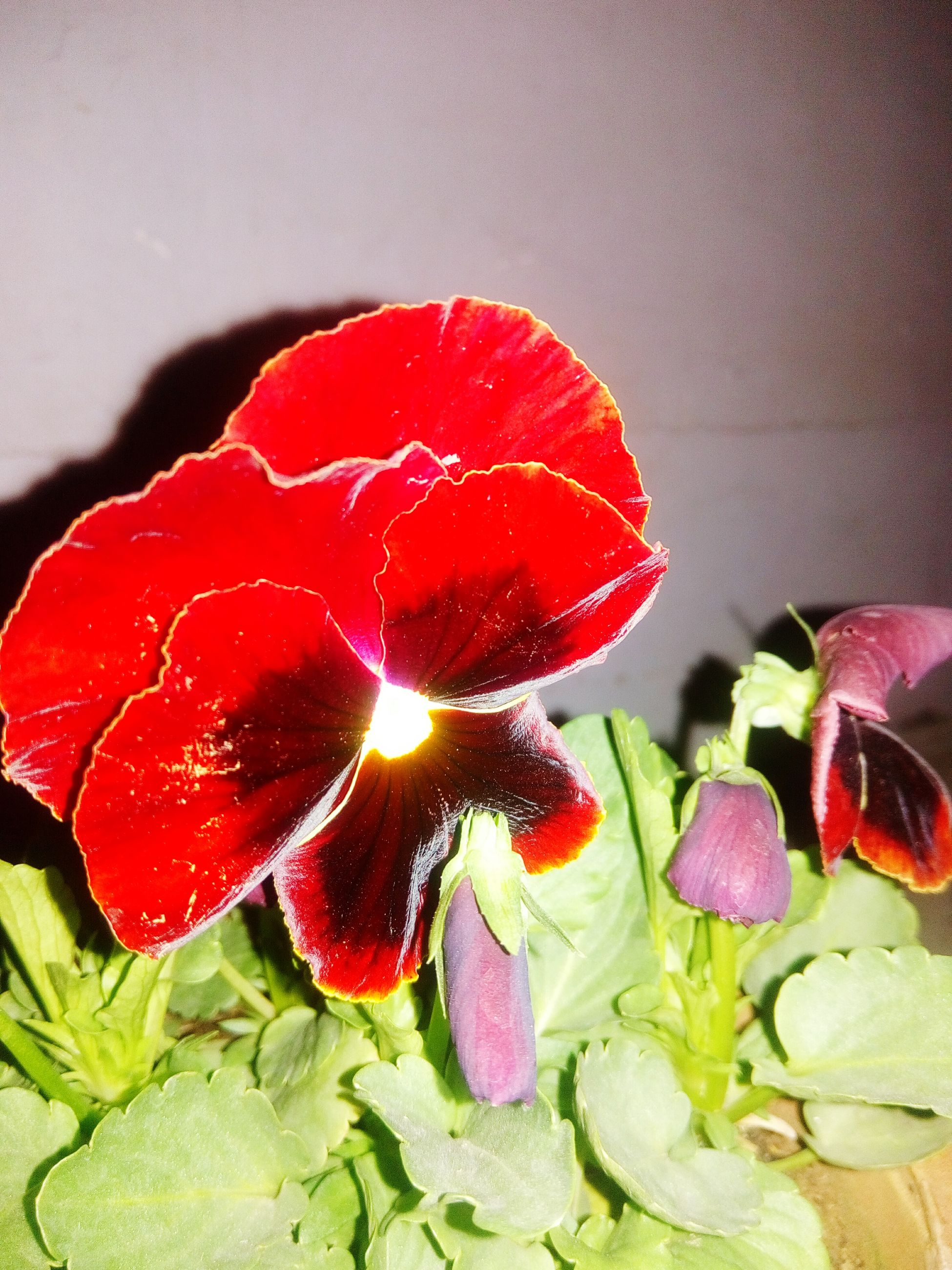 red, freshness, flower, close-up, petal, no people, indoors, food, fragility, healthy eating, nature, day