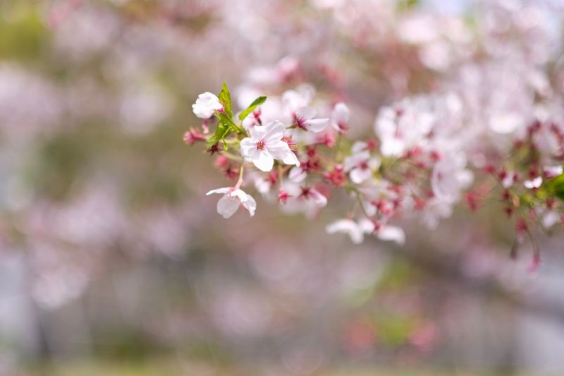 Sakura lover Sakura Trees Sakura Blossom Flower Flowering Plant Fragility Plant Freshness Beauty In Nature Vulnerability  Growth Blossom Springtime Tree Close-up Nature Petal Branch Pink Color No People Day Flower Head Inflorescence