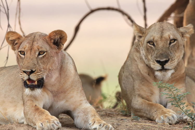 Lionesses relaxing on field