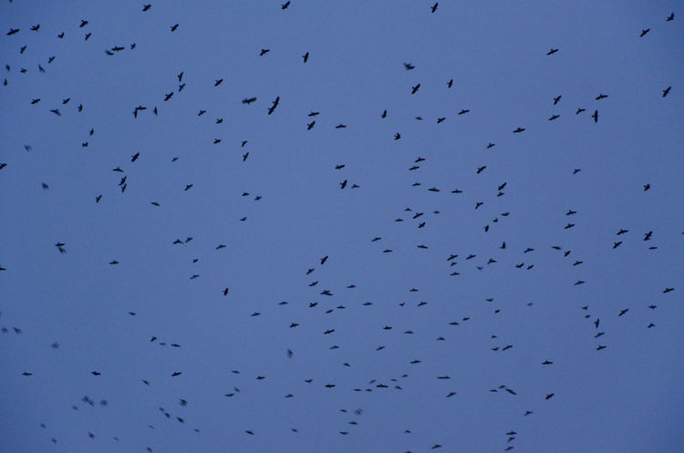 Invasion Animal Wildlife Animals In The Wild Bird Corvids Flock Of Birds Flying Jackdaws Large Group Of Animals Outdoors Sky Spread Wings