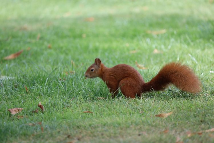 View of squirrel on field