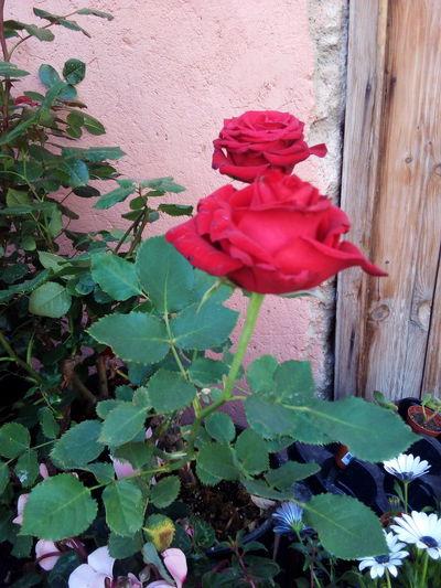 Roses urban