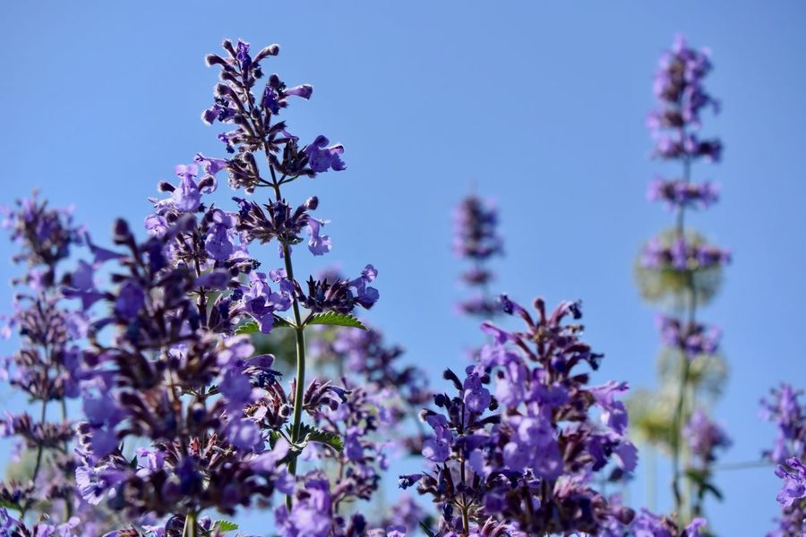 Postcard Background Backgrounds Beauty In Nature Blue Close-up Flower Flower Head Flowering Plant Focus On Foreground Fragility Freshness Growth Lavander Lavander Flowers Lavender Nature No People Outdoors Pattern Plant Purple Purple Flower Selective Focus Vulnerability