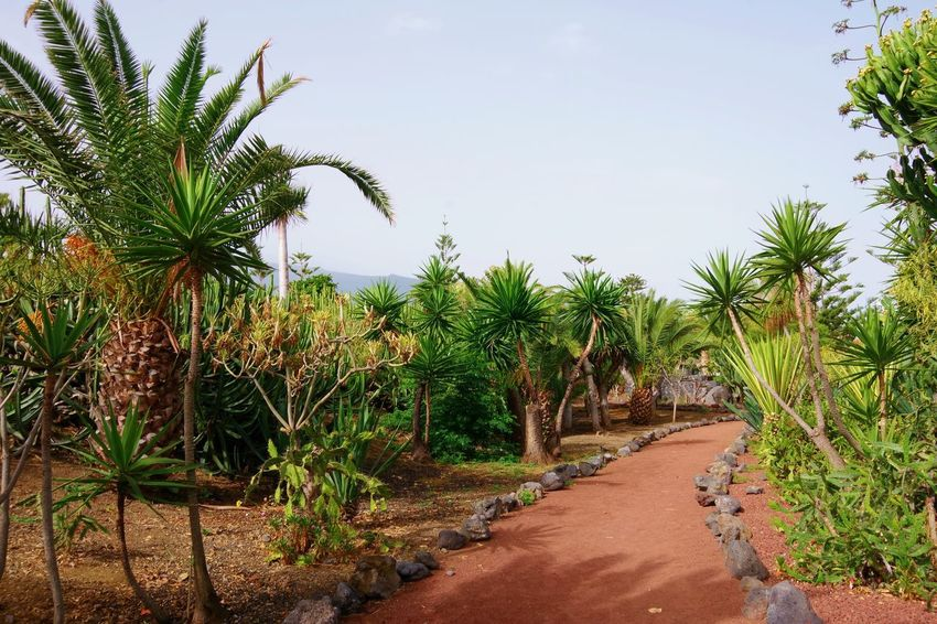 Palm Tree Playa Jardin Puerto De La Cruz SPAIN Tourist Attraction  Travel Photography Beauty In Nature Beauty In Nature Direction Footpath Garden Garden Photography Nature No People Palm Tree Palm Trees Plant Spaın Tenerife Tenerife Island The Way Forward Tourist Destination Tranquil Scene Tranquility Travel Destination