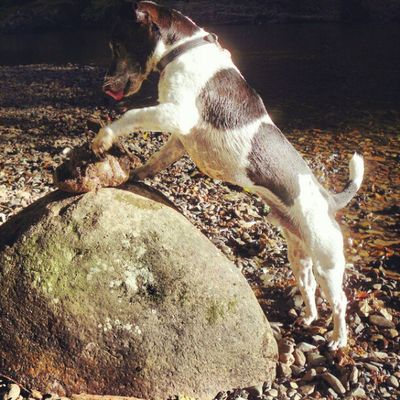 Alf playing with rocks Jackrusselterrier Jackrussell Jackrussel Jrt