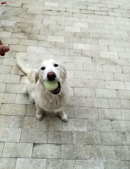 Animal Domestic Animals Dog Pets One Animal Animal Themes Mammal No People Day Portrait Outdoors Close-up Huaweip9lite Heydog Game Ball Ballgame Ballgames