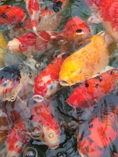 fancy carp fish in pool Multi Colored Colorful Color Pool Animal Carp Fish Fancy Carp Fish Fancy Carp Animal Themes Fish Large Group Of Animals Water Carp Group Of Animals Day Nature Outdoors