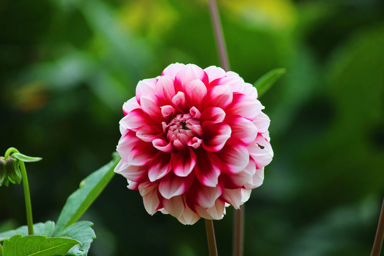 Close-up of pink dahlia flower in park