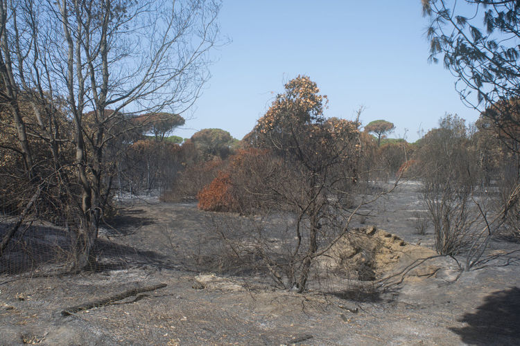 Rome's castel fusano pinewood after the terrible blaze which devasted It Blaze Burned Catastrophe Rome Castel Fusano Devastated Disaster Fire Forest Pinewood