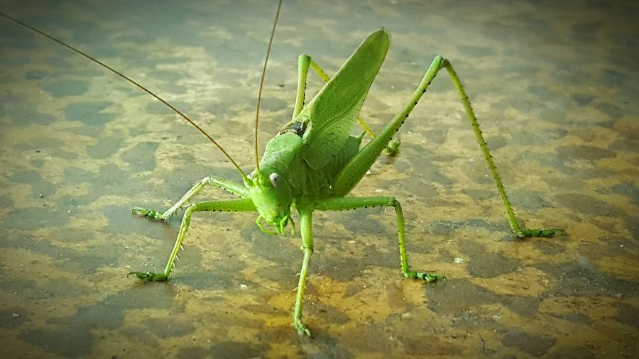 One Animal Animals In The Wild Insect Animal Themes Animal Wildlife Nature Close-up Praying Mantis Grasshopper Outdoors No People Day Water First Eyeem Photo