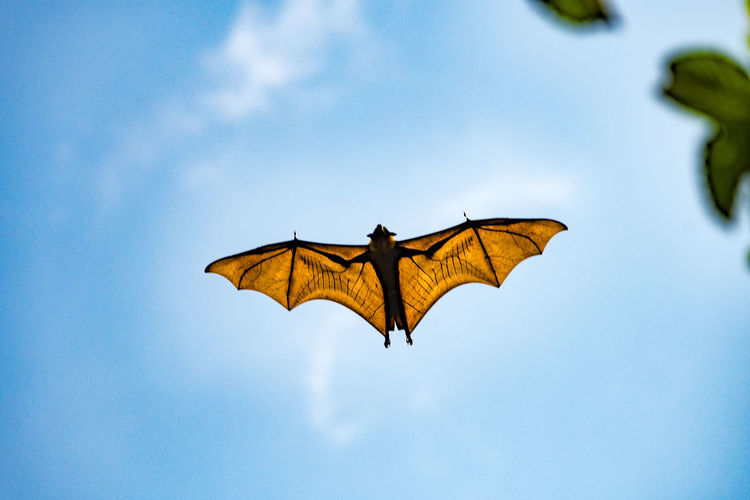 Fruit Bat full wingspan botanical garden, Sri Lanka Animal Themes Animal Wildlife Animals In The Wild Bat Batman Batman Logo Beauty In Nature Day Flying Free Free As A Bird Freedom Low Angle View Nature No People Outdoors Sky Soaring Spread Wings Veins EyeEmNewHere