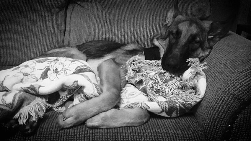 Night Night, Sleep Tight German Shepherd Puppy Gsdpuppy Dog GSD German Shepherd Sleeping Blanket Snooze Blackandwhite Photography