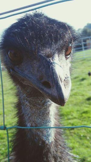 Emu Bigbird