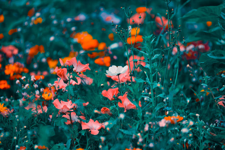 Wild Flower Field with many different colors and green background Flowering Plant Flower Plant Growth Freshness Beauty In Nature Vulnerability  Fragility Petal Nature Flower Head No People Selective Focus Close-up Day Inflorescence Red Outdoors Green Color Orange Color Flowerbed