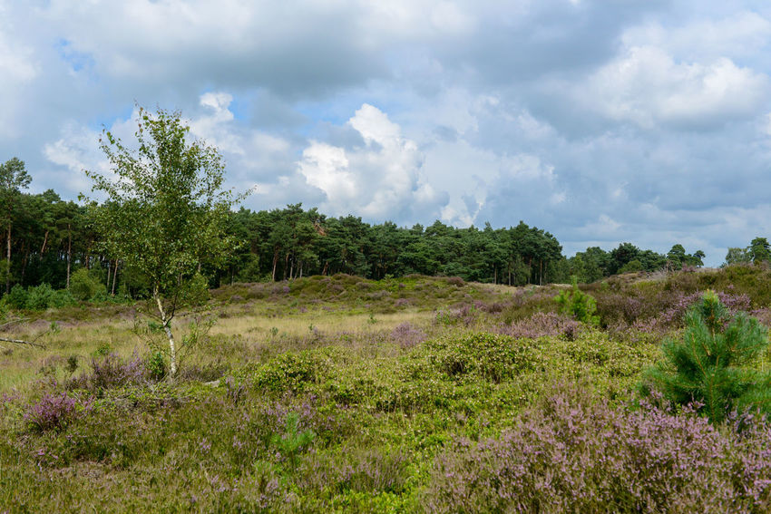 Tafelberg hiking route in Hulshorst the Netherlands Hulshorst Netherlands The Netherlands Beauty In Nature Day Heather Hiking Trail Holland Landscape Nature No People Outdoors Scenics Sky Tafelberg Tranquility Tree