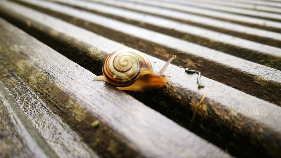 Tiny snail 🐌 EyeEmNewHere EyeEm Best Shots EyeEm Nature Lover EyeEm Gallery EyeEm Best Shots - Nature HuaweiP9 Huaweiphotography Beauty In Nature Garden Photography Cornwall Wooden Decking Gastropod Snail Close-up Animal Themes Wildlife Shell Slow Animal Shell Animal Antenna Seashell Slimy