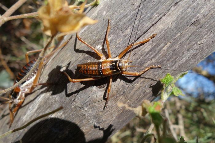 Mediterranean  L'Escalet Provence Flora Coastline Saint Tropez Cotedazur Fauna Cricket Insect Crickets French Riviera Ephippiger