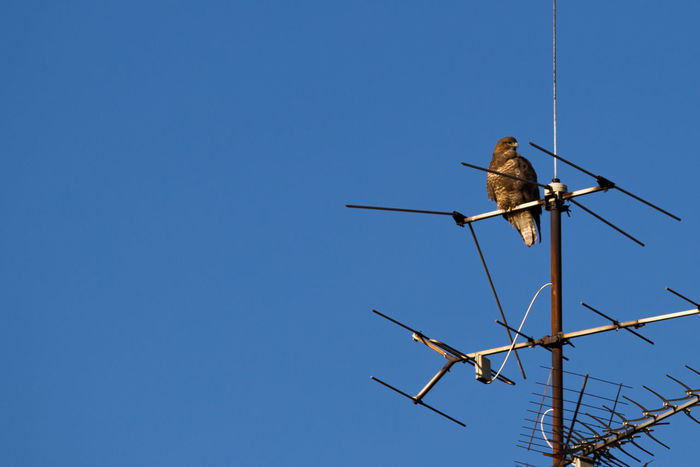 Animals In The Wild Antenna - Aerial Bird Clear Sky Day Hawk Nature No People Northern Goshawk