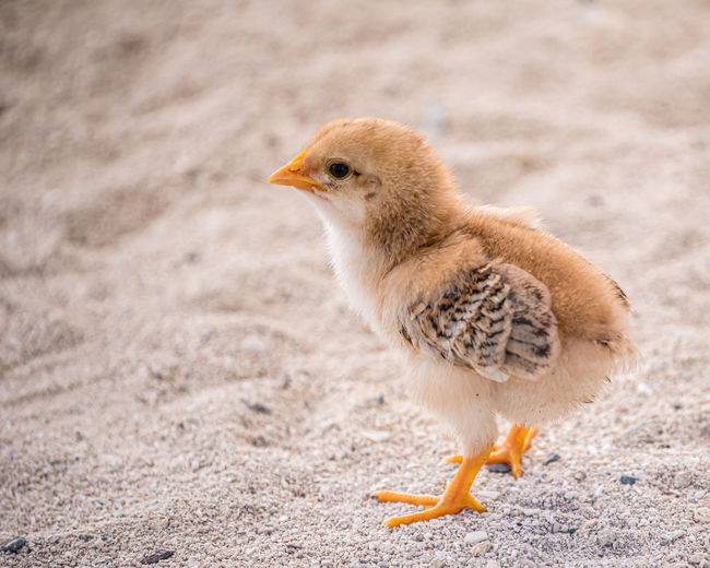 Close-up of chick on sand