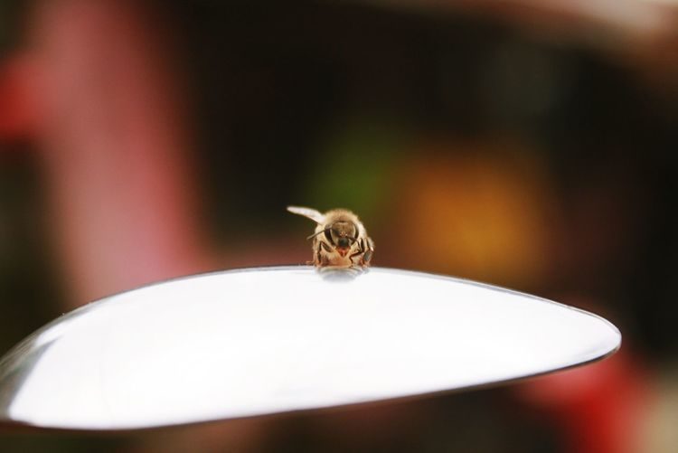 Bee in spoon