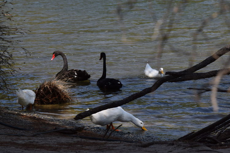 Black Swan Swimming Black Swans Ducks At The Lake Greece Skiathos Nature Nature Photography Skiathos_island Tranquility Perspectives On Nature
