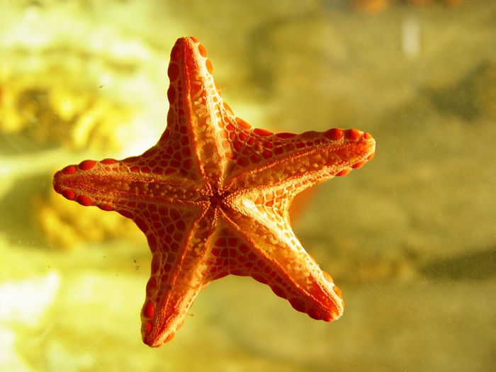 Starfish  One Animal Animal Themes Close-up Animals In The Wild Focus On Foreground Nature Water Sea Life Day No People Red Outdoors Beauty In Nature Maple I Want To Know Your Secret, C I Always Thinking About U, G Thank You,❤️ 감사합니다