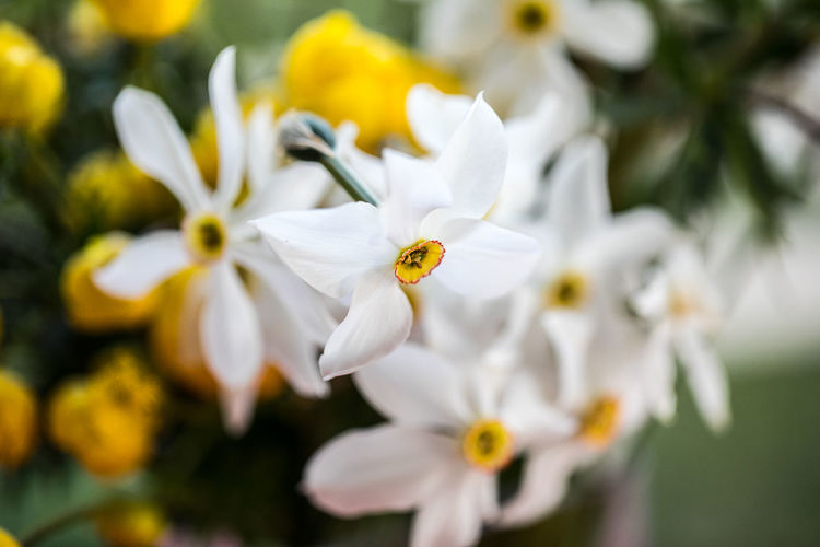 White narcissus narcisses and yellow flowers