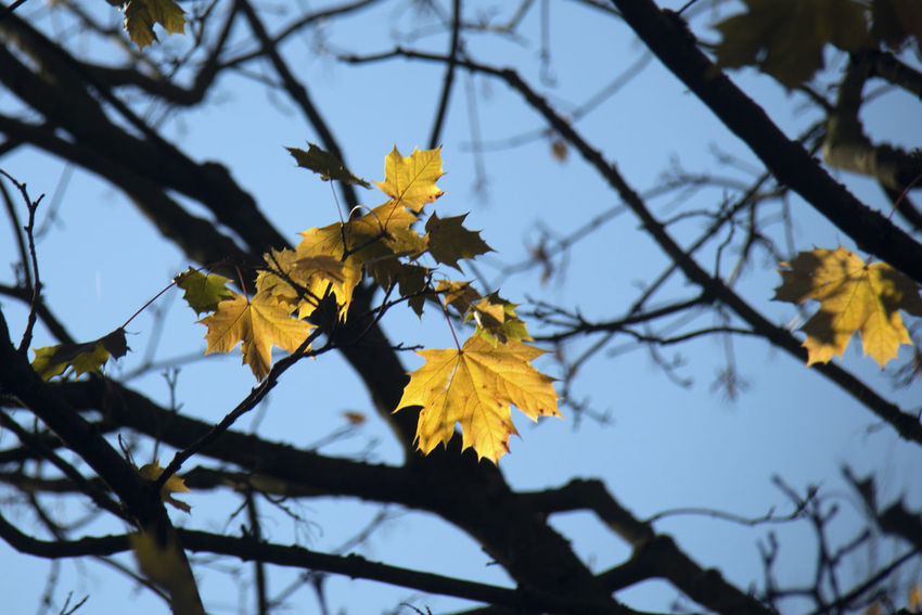 Plant Yellow Beauty In Nature Branch Tree Growth Plant Part Leaf Autumn Low Angle View Nature Change Focus On Foreground Day Vulnerability  No People Close-up Sky Fragility Outdoors Maple Leaf Leaves Natural Condition