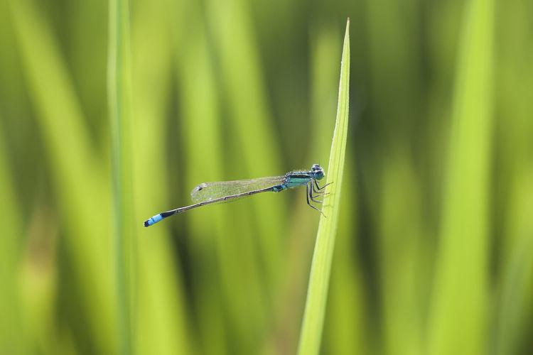Close-up of damselfly on grass blade