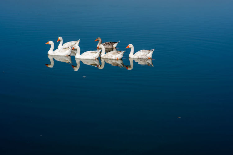 nature Water Animal Animal Wildlife Group Of Animals Animals In The Wild Animal Themes Vertebrate Swimming Blue Waterfront No People Sea Nature Bird Reflection Day Copy Space Marine Animal Family Geese