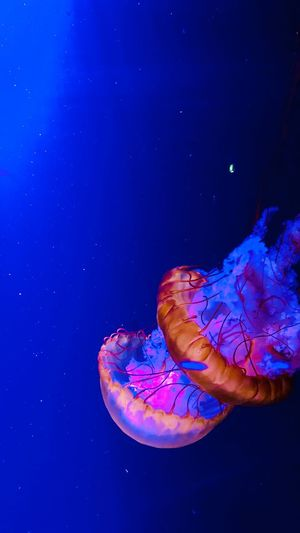 EyeEmNewHere Jellyfish Sea Sea Life Marine Water Animals In The Wild Underwater Jellyfish Animal Themes Animal Wildlife Animal Swimming Invertebrate Nature No People Blue UnderSea Beauty In Nature Blue Background