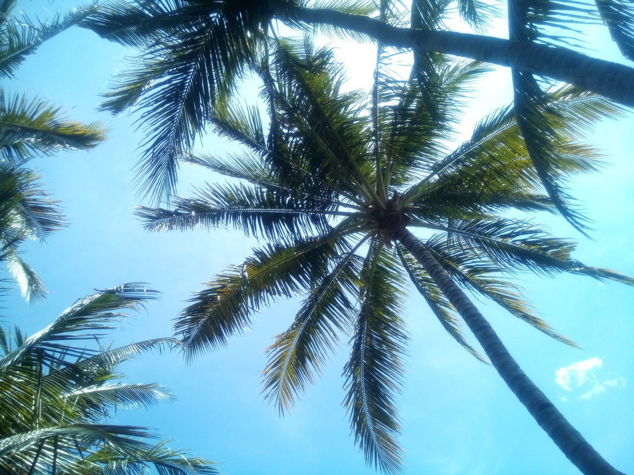 palm tree, low angle view, tree, nature, growth, sky, no people, day, beauty in nature, tree trunk, outdoors, scenics